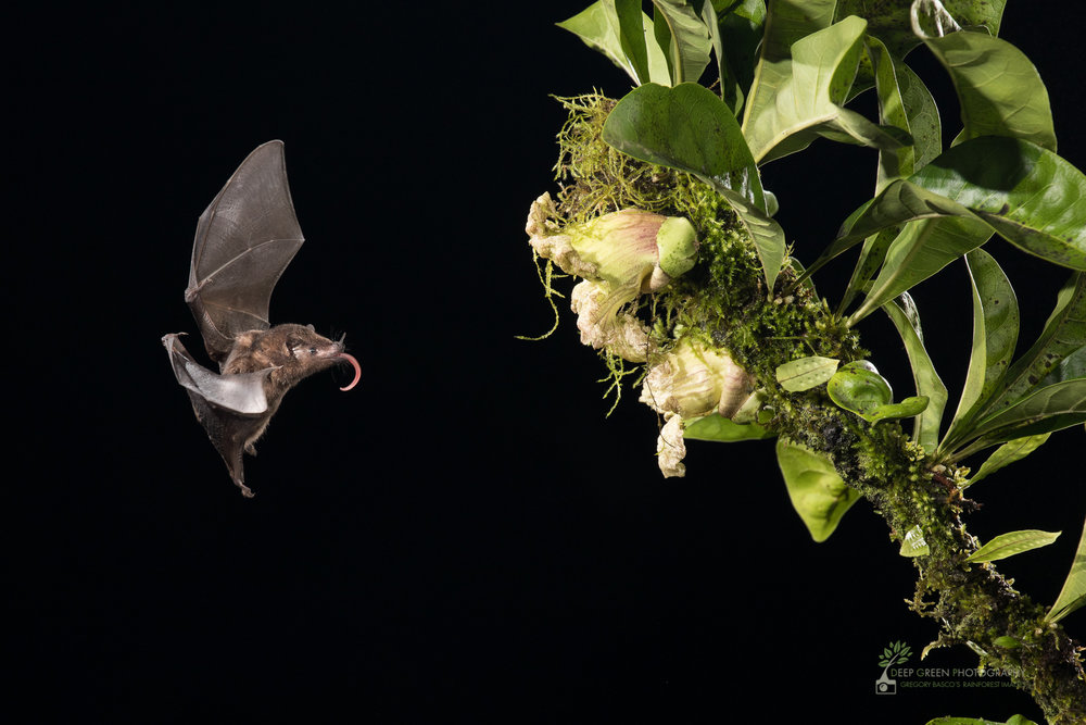 Pallas' Long-tongued bat visits a calabash gourd flower, Costa Rica