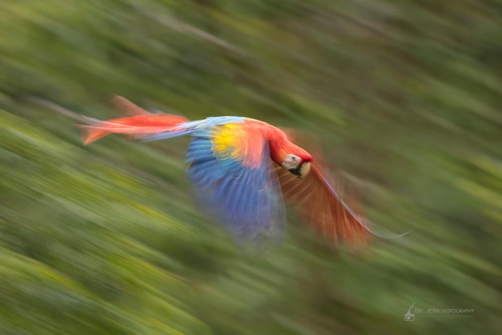 Scarlet Macaw (Ara Macao), Costa Rica4