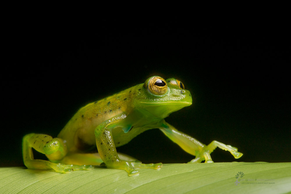 Emerald glass frog, Costa Rica