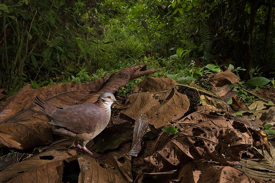 quail-dove-final.jpg