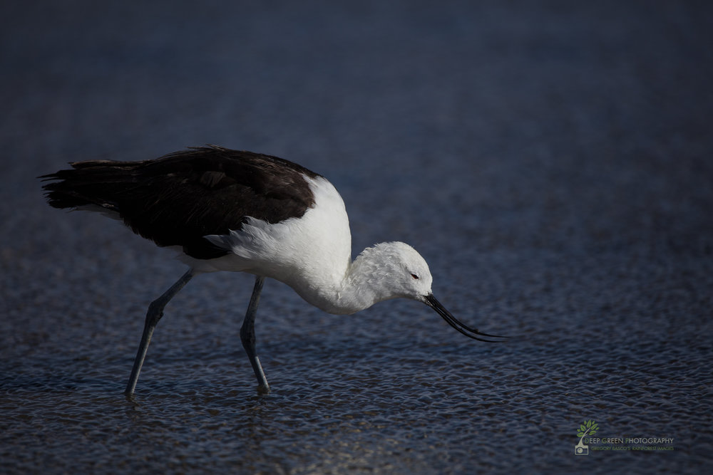 Andean Avocet, Chile