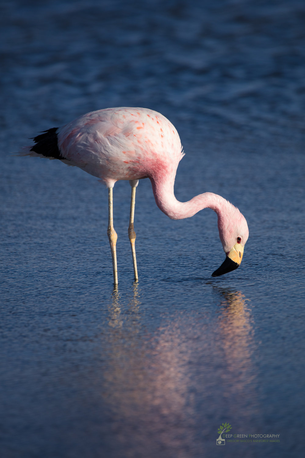 An Andean Flamingo searches for shrimp in a salt lake in the altiplano of the Atacama Desert in Chile