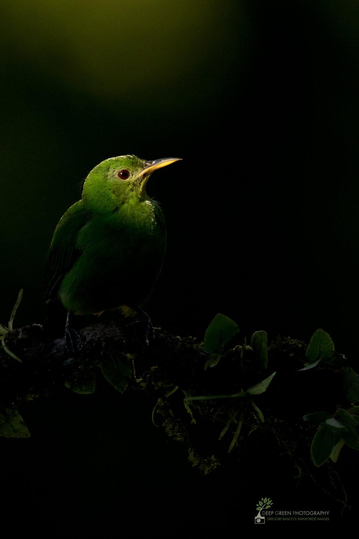 female green honeycreeper in rainforest, costa rica