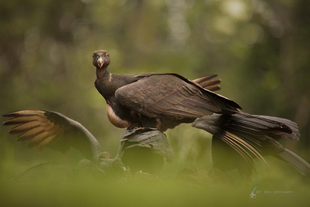 juvenile king vulture, Costa Rica