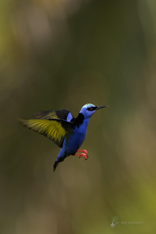 red-legged honeycreeper in flight, Costa Rica