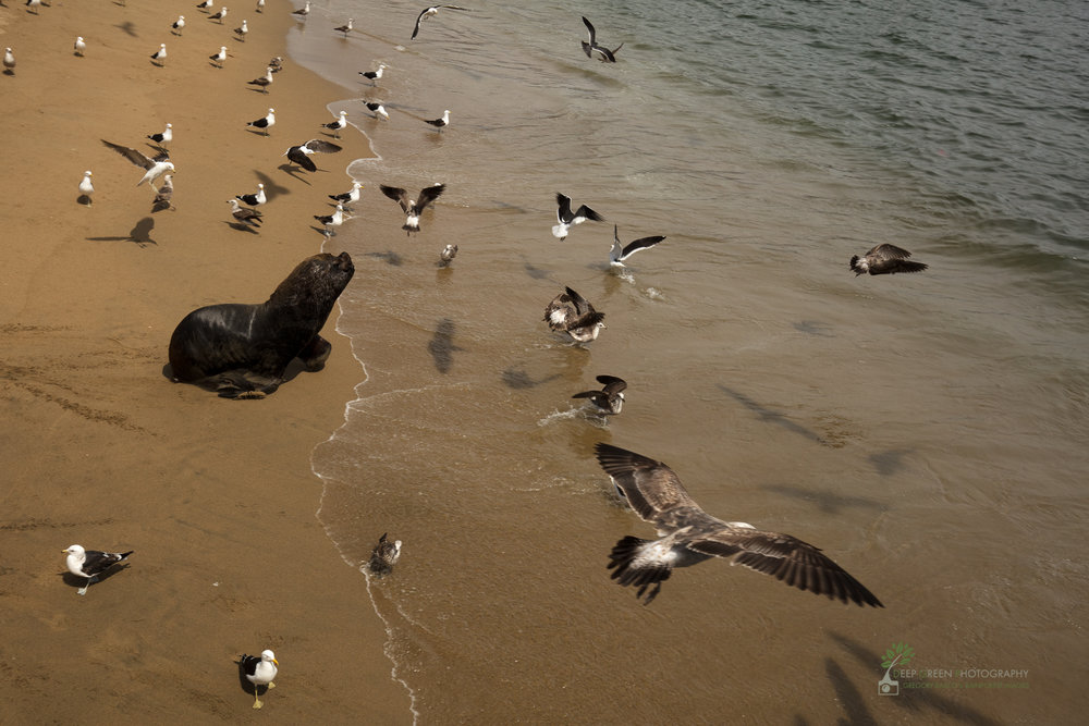 Sea lion and gulls in Valparaiso, Chile
