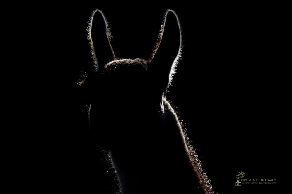 A guanaco backlit in Torres del Paine National Park, Chile