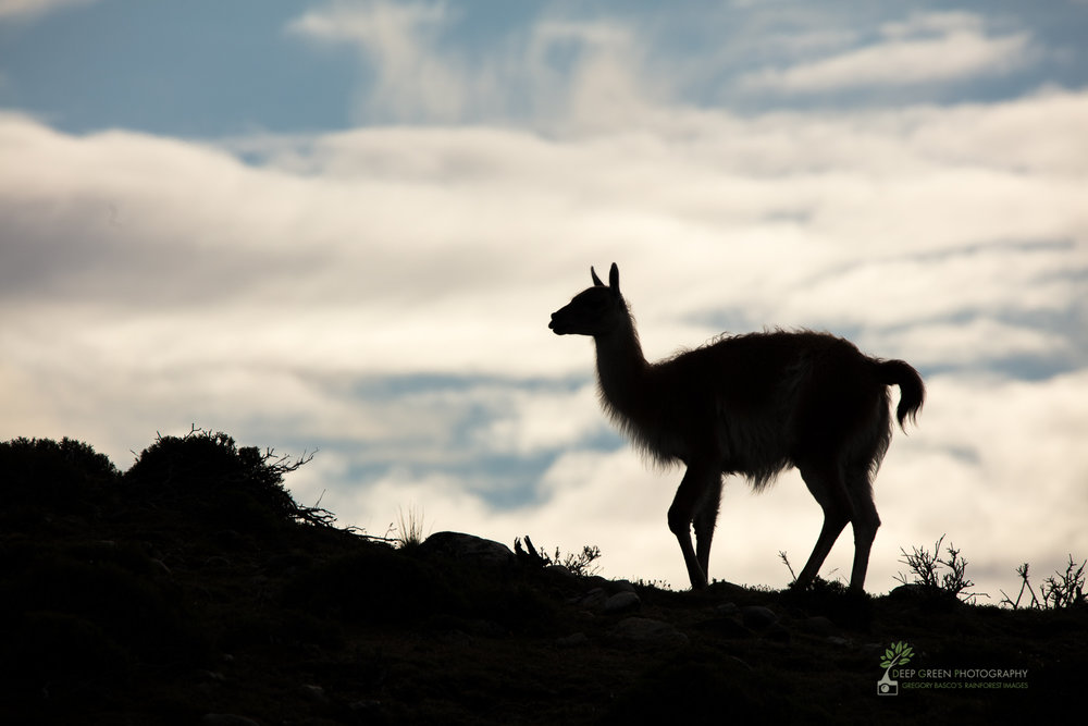 Guanaco against sky, Torres del Paine National Park, Chile