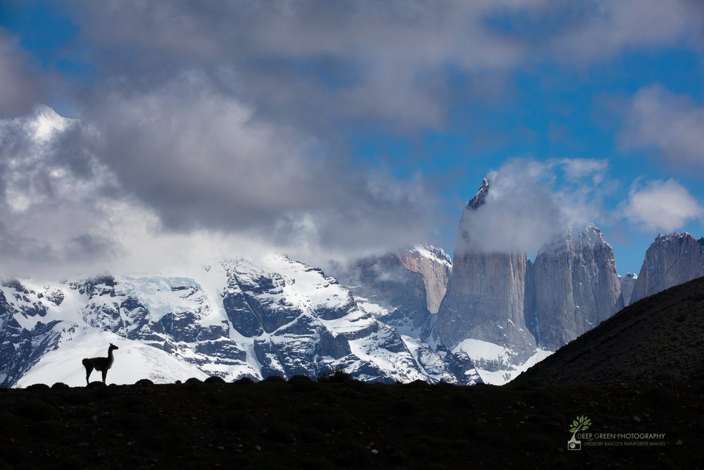 A guanaco against the famed mountains in Torres del Paine National Park, Chile