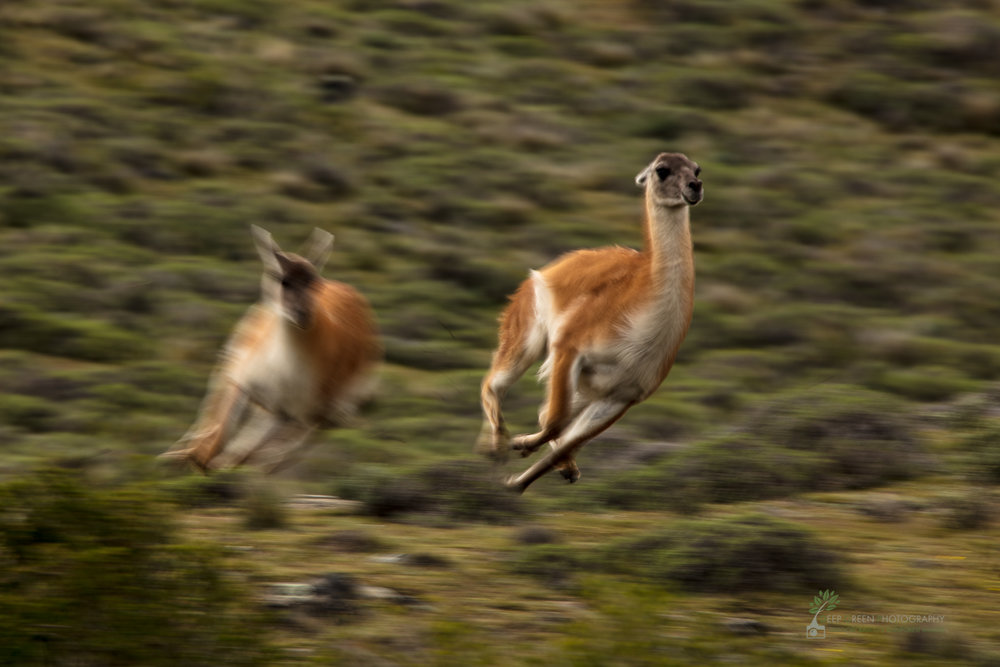 Guanaco chasing in territorial dispute, slow shutter speed, Torres del Paine National Park, Chile