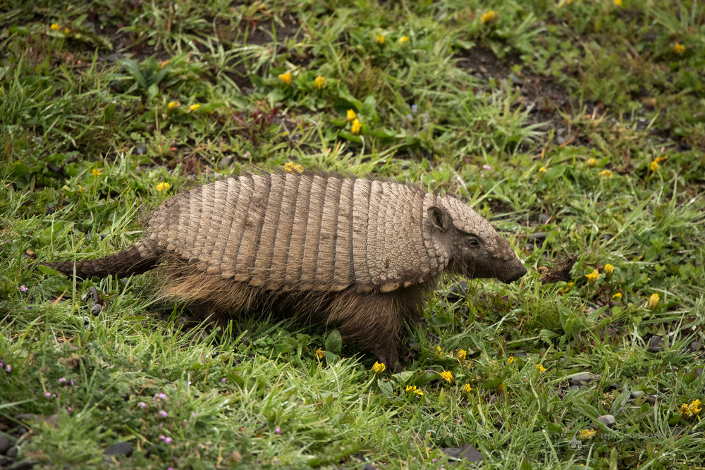 Hairy Armadillo, Torres del Paine National Park, Chile