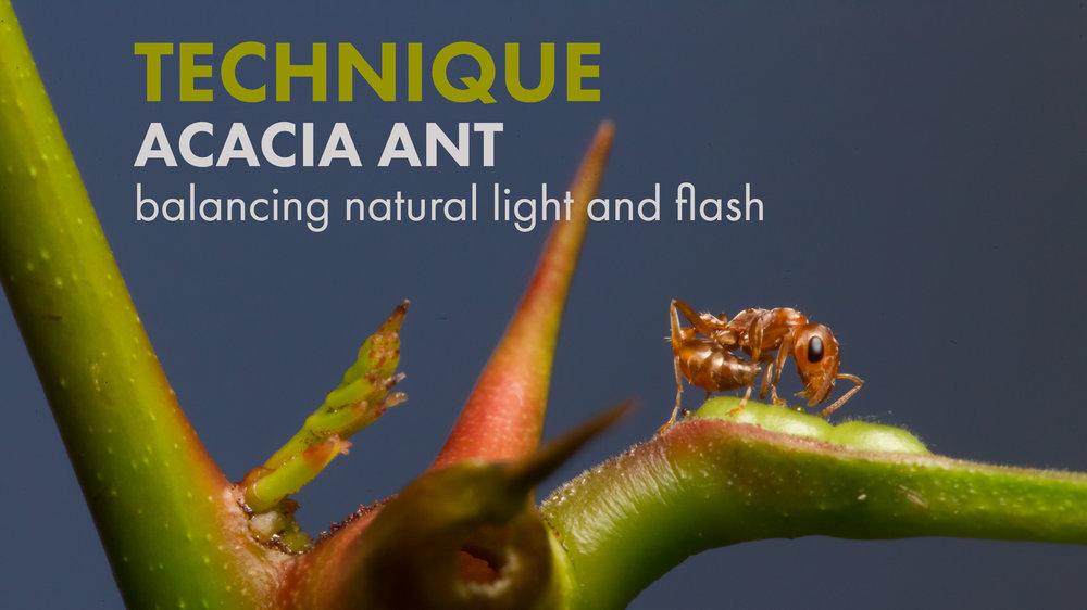 acacia-ant-post-banner.jpg