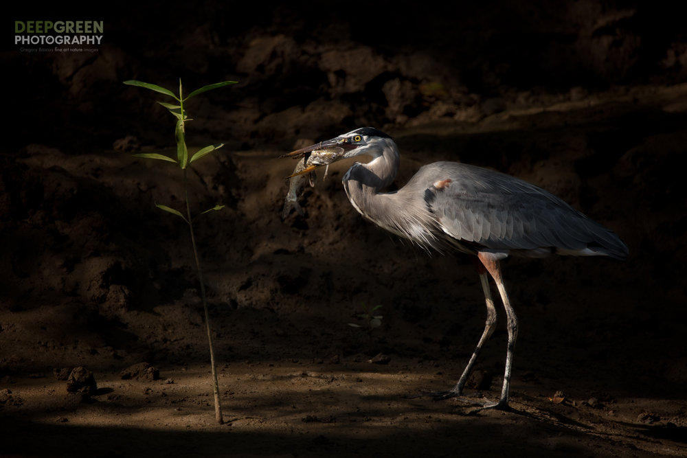 A Great Blue Heron devours a catfish as sun streams through a mangrove forest on the Pacific Coast of Costa Rica