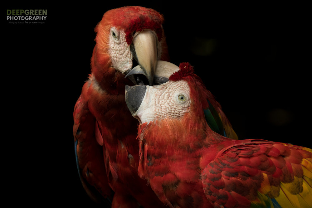 The interactions between wild macaws are fascinating. Adolescents like these juvenile scarlet macaws photographed in the northern lowlands of Costa Rica are much like human teenagers, tumbling and wrestling with their friends and siblings. Diffused sunlight and a shaded background for a dramatic image of these two juvenile scarlet macaws (Ara macao).