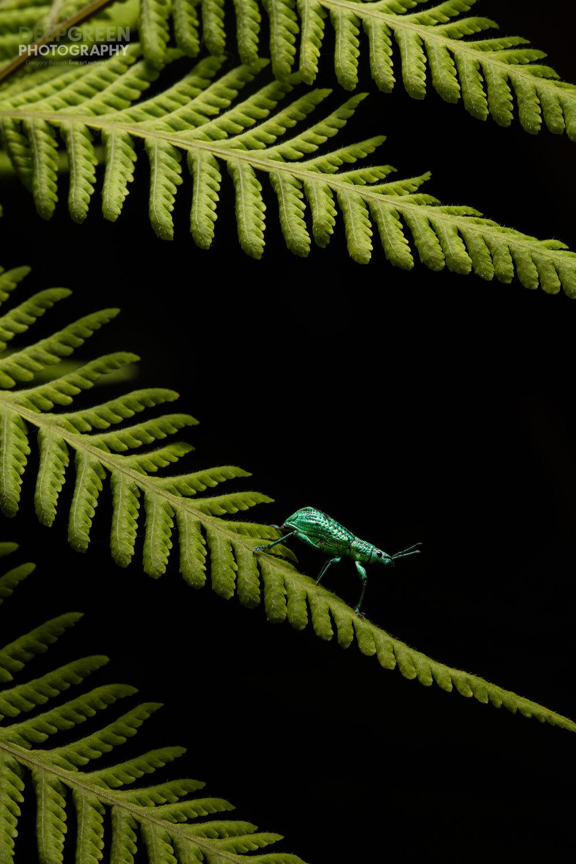 Weevil Jewel
