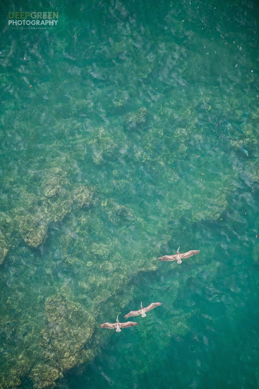 Brown pelicans soar over the ocean near Costa Rica's famed Manuel Antonio National Park