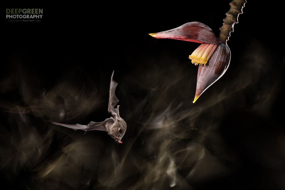A Pallas' Long-tongued Bat visits a banana flower in a lowland rainforest in Costa Rica. I use a sophisticated multiple-flash technique coupled with an infrared movement trigger to do my bat photography. I combined this technique here with continuous light from a flashlight during a long exposure.