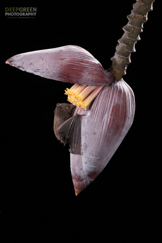 A Pallas' Long-tongued Bat visits a banana flower, Costa Rica