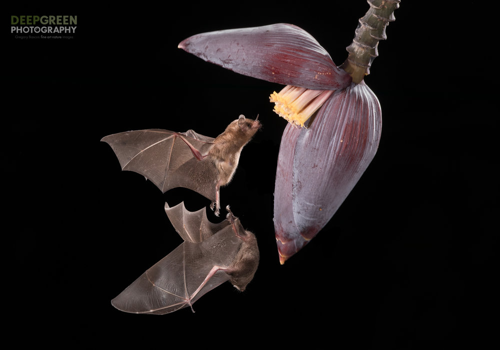 Pallas' Long-tongued Bats are incredibly acrobatic as they visit a banana flower, Costa Rica