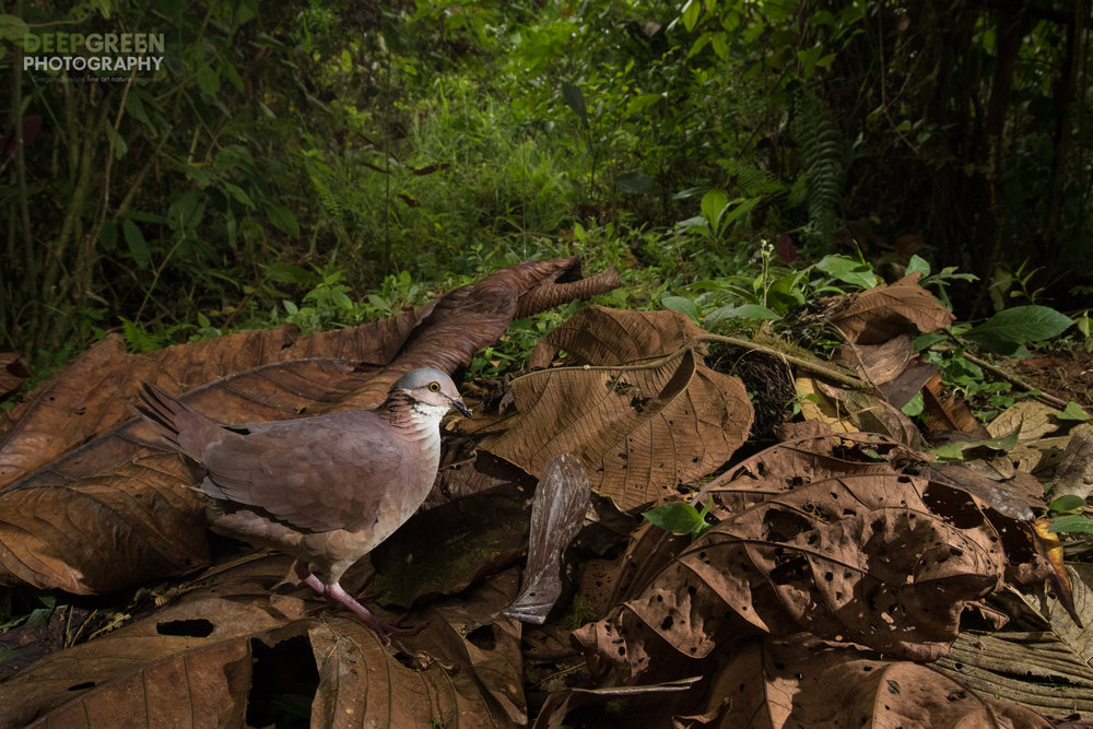 white-throated Quail Dove taken with a camera trap in the cloud forest, Mashpi Lodge, Ecuador