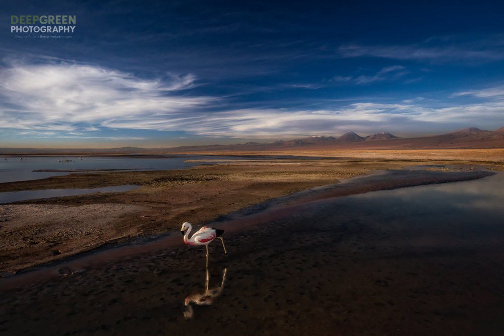 When I visited the Atacama deserts of northern Chile recently, I was struck by the spare beauty of the region; it couldn't be more different than my normal everyday studio in the tropical rainforest! While I was captivated by the lack of life in this area, one of the driest on the planet, I still longed for a bit of color and maybe even some feathers :-)My wish came true very late one afternoon as I visited a highland lake with my friends. A lone Andean Flamingo (Phoenicoparrus andinus) was foraging right next to us on the path! I immediately changed from my telephoto lens to a wide angle, screwed on a polarizer, and grabbed a flash (which I always have handy no matter where I go). My idea was to expose for the larger scene, look for some compositional lines, and then use the flash to slightly fill in the shadows on the bird caused by the sun setting to my left as I viewed the scene. After a couple of shots I had things dialed in and began shooting. The flamingo, however, was just kind of mulling around with its beak in the mud. I needed a more dynamic pose and, luckily, was rewarded with one for just a split second as the flamingo lifted its head and stretched out its back leg. This is the shot I envisioned from the moment I came upon the scene, and I was so happy to have accomplished it. I hope you like it!For the photographers out there, here's the technical info!Canon 5DsR, Canon 16-35 mm f/4 L IS zoom at 22 mm, circular polarizer, handheld, f/22, ISO 500, 1/50, flash on-camera at TTL -1Processed in Lightroom with some slight selective adjustments for color and contrast, a very light rotation to correct for the horizon line.
