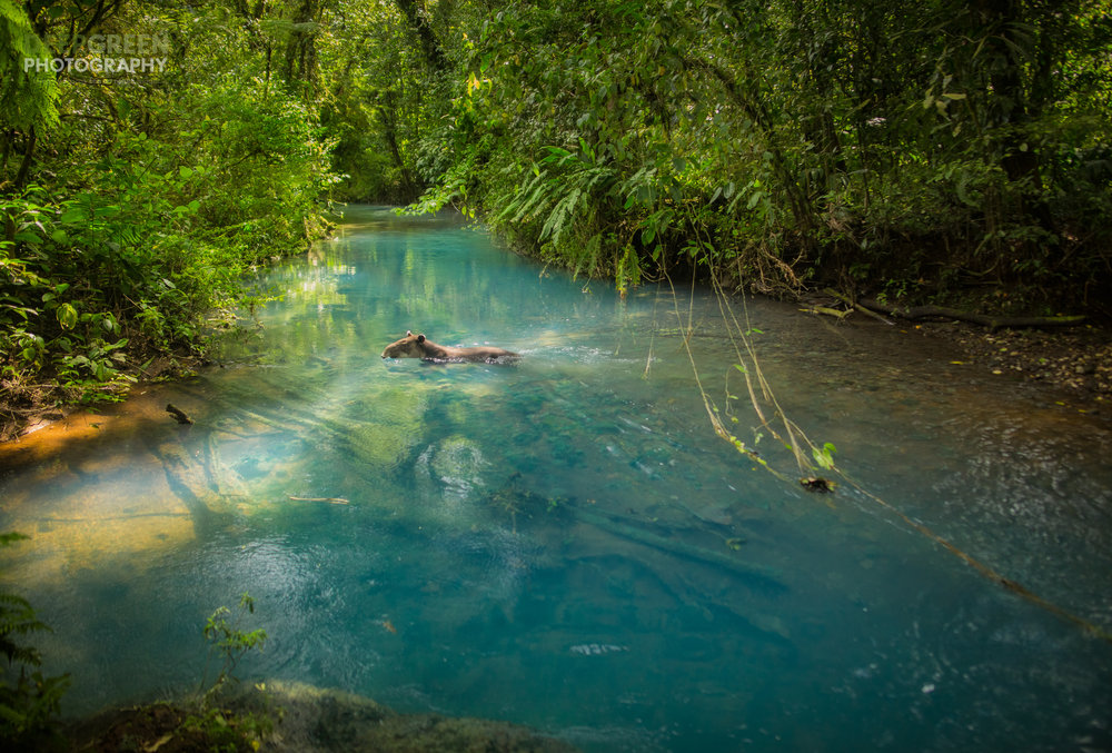 Costa Rica's Rio Celeste is an amazing place on its own -- the heavenly blue water results from a mixture of copper and sulfur and silica colloids that reflect only the blue spectrum of light. While photographing a landscapce, I suddenly saw a Baird's tapir (Tapirus bairdii) crash through the underbrush and begin to swin downstream. I sprinted to a spot I had noticed earlier and hoped against hope that the tapir would cross there. When it did, I had time to meter quickly and fire off 4 shots with my manual focus lens before it disappeared again into the dense rainforest. Though a very rarely seen phenomenon, some think that the tapirs bathe in the chemical-laden blue waters as a way to rid themselves of ticks, fungus, and other skin infections. Though brief, seeing this elusive animal in this amazing place was a highlight of my nature photography career.Canon 5D Mark III, Rokinon 24 mm lens, polarizer, handheld, f/5.6, 1/320, ISO 640