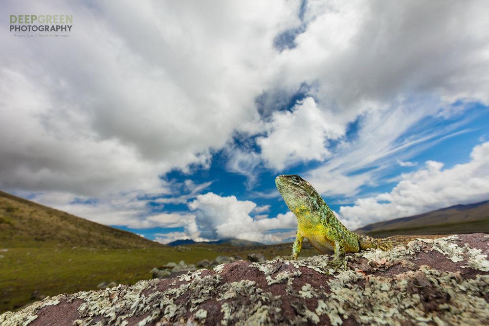 A Quito Whorltail Iguana (Stenocercus guentheri) surveys his domain at nearly 15,000 feet near the base of Ecuador's Cotopaxi Volcano.