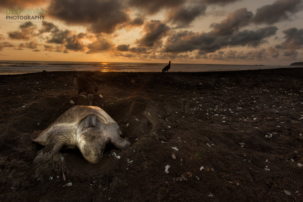 Olive ridley sea turtle (Lepidochelys olivacea) laying eggs as the sun sets at Playa Ostional