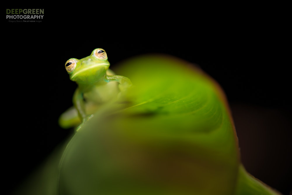 Emerald glass frog, Costa Rica. I used shallow depth of field and diffused flash for this nighttime portrait.