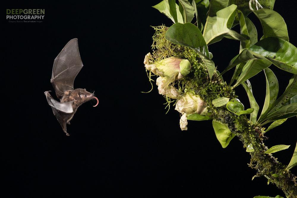 Pallas' Long-tongued bat visits a calabash gourd flower, Costa Rica