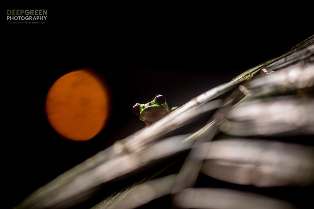 A Gliding Leaf Frog (Agalychnis spurrelli) in a rainforest at night in Ecuador