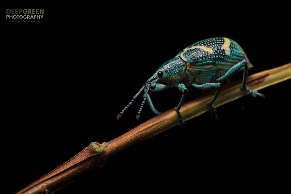 A colorful weevil on a branch in a rainforest, Ecuador