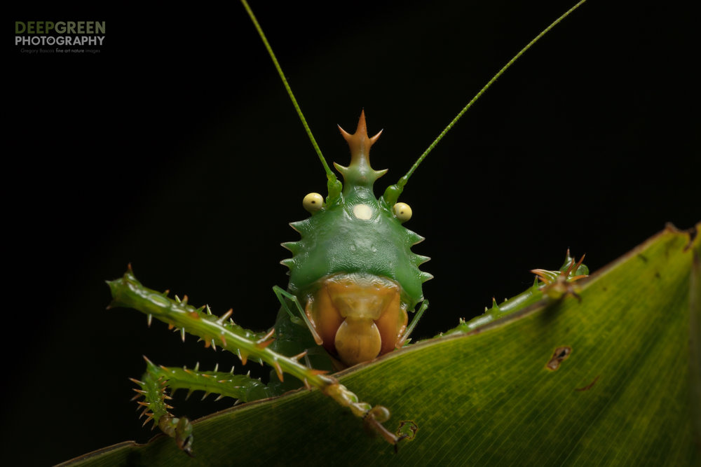 Spiny Devil Katydid in a rainforest in the Amazon foothills of Ecuador