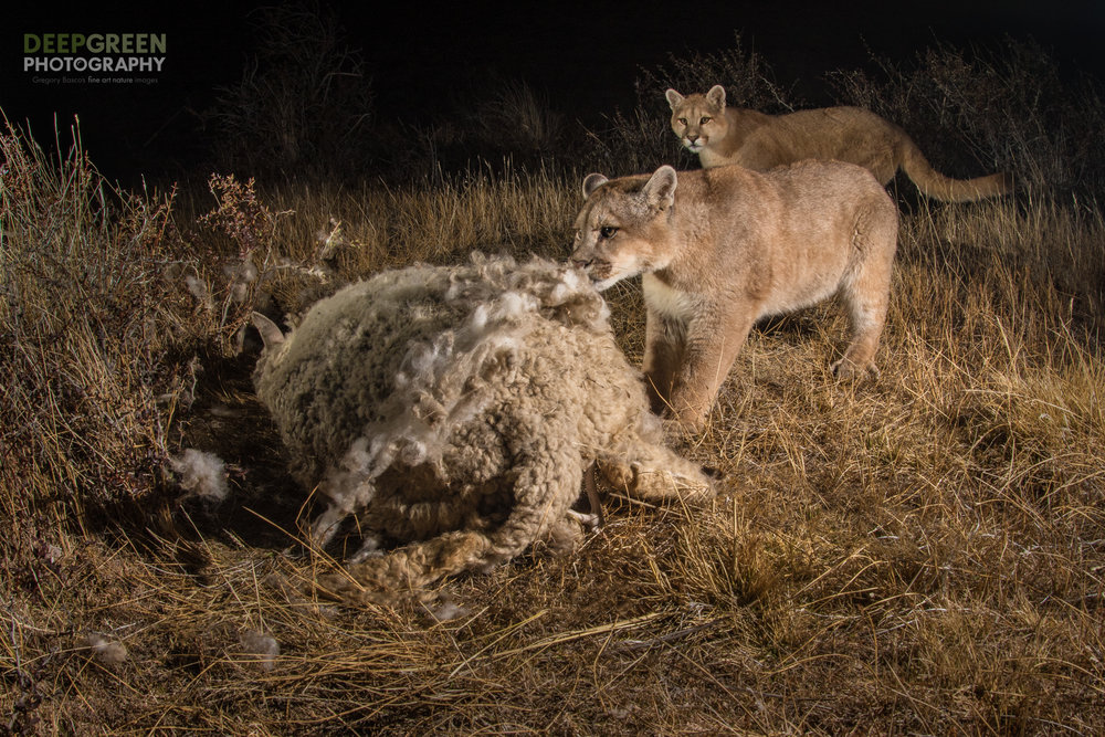 Puma (Puma concolor) feasting on a domestic sheep (Ovis aries) carcass on the outskirts of the Torres del Paine National Park in Chile. There is a growing conflict in the region between sheep farmers and conservationists because the puma, symbol of conservation in the area, has discovered sheep to be easy prey. Farmers have been known to hunt pumas to avoid losses to their flocks.Photo taken with a wide angle lens and a remote shutter release in a collaboration between professional nature photographers Gregory Basco and Rodrigo Moraga.