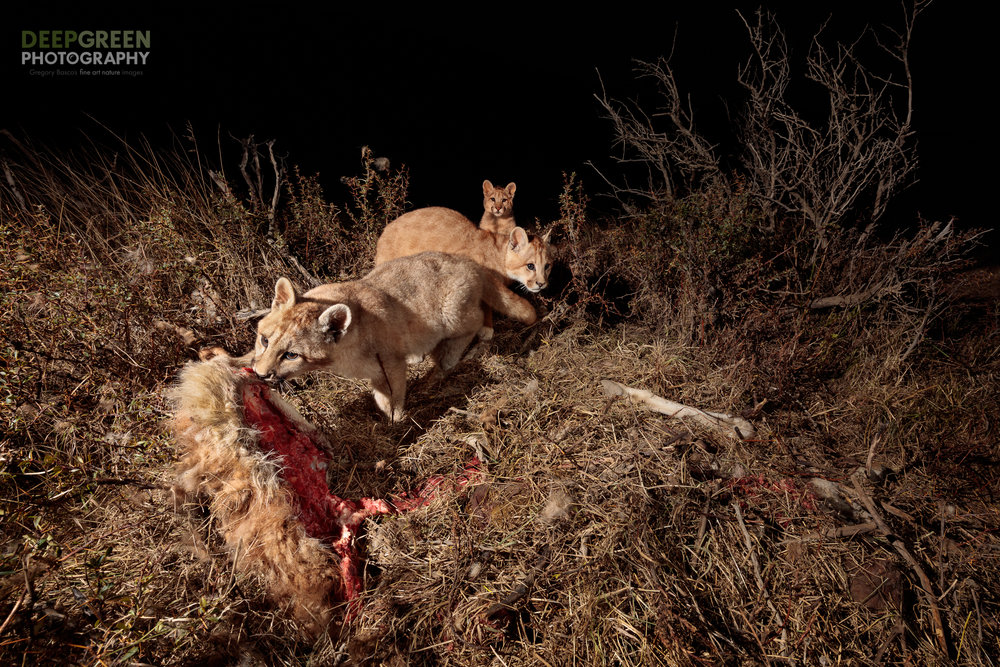 Puma (Puma concolor) feasting on a guanaco (Lama guanicoe) carcass on the outskirts of the Torres del Paine National Park in Chile. Absolutely stunned by the possibiity when I came upon this fresh kill, I quickly cobbled together a remote setup using what I had in my backpack along with sticks and string to hold my flashes! Photo taken with a wide angle lens and a remote shutter release in a collaboration between professional nature photographers Gregory Basco and Rodrigo Moraga.                                                                                                                                                                                                                                                         Canon 5DsR, Canon 16-35 mm f/4 zoom lens, tripod, remote wireless shutter release, Phottix Odin flash transmitter, 2 flashes, f/11, 1/200, ISO 400