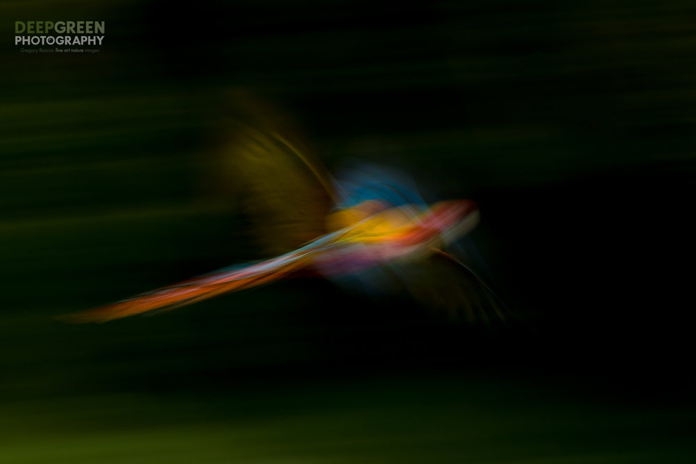 A wild scarlet macaw (Ara macao) swoops through a rainforest on a dark and cloudy day during Costa Rica's rainy season. I used a slow shutter speed combined with flash for this artistic rendering.
