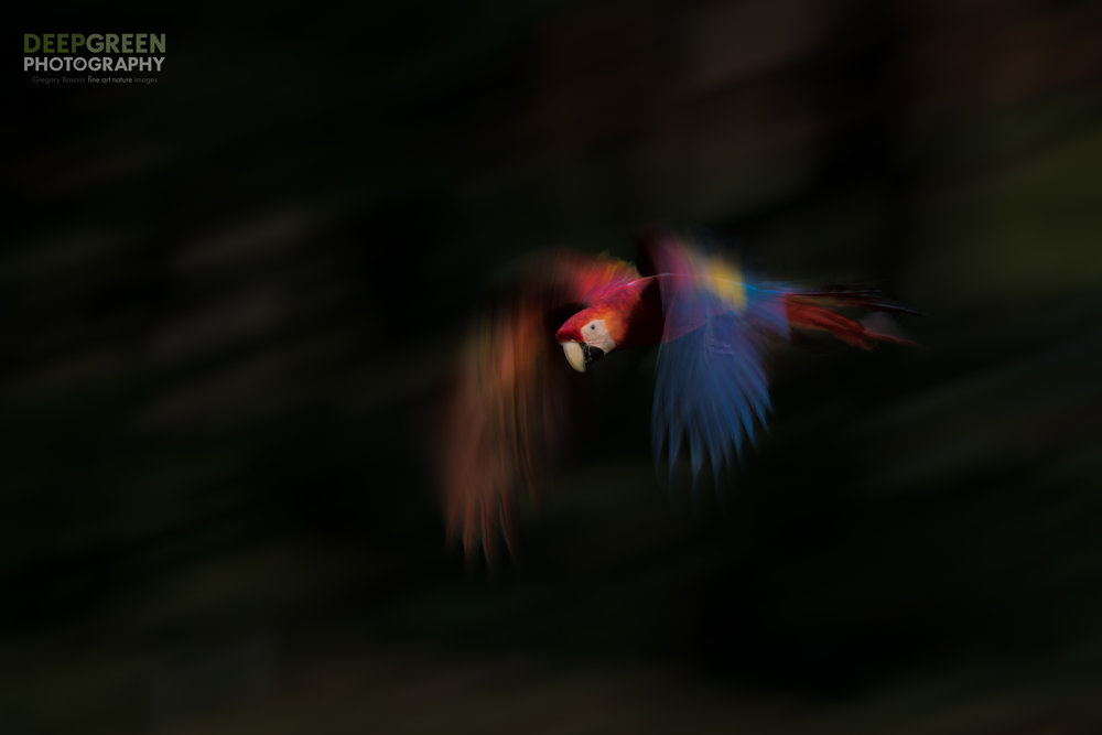 A combination of flash and slow shutter speed accentuates the motion of a scarlet macaw flying through the rainforest canopy in Costa Rica.