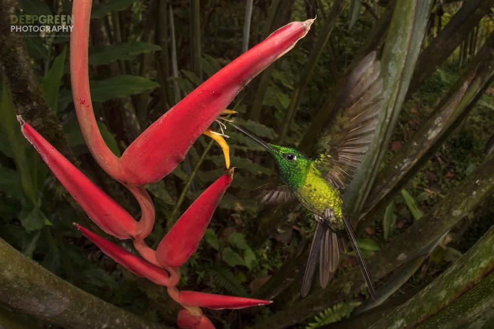 Empress Brilliant at Heliconia flower taken remotely with a fisheye lens, Mashpi Lodge, Ecuador