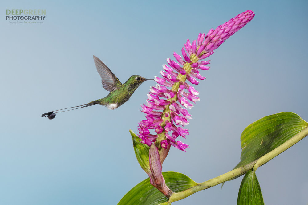 A booted racket-tail hummingbird visits an orchid flower on the outskirts of a cloud forest in Ecuador
