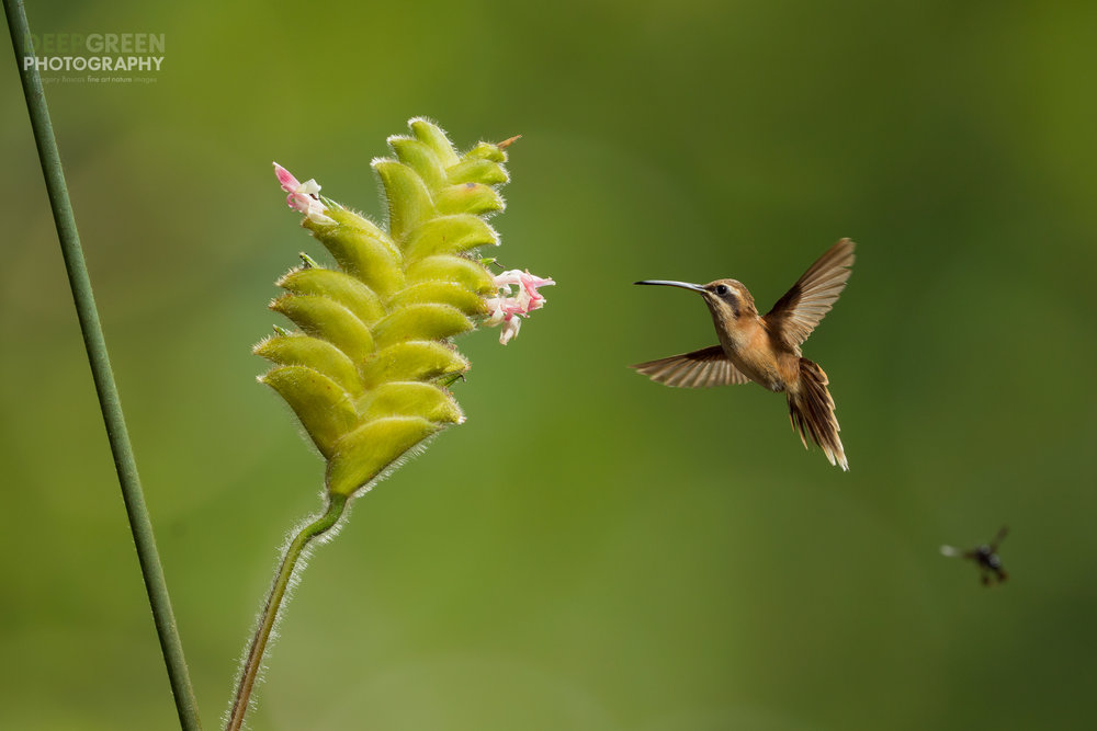 striped-throated hermit visits a rattlesnake flower