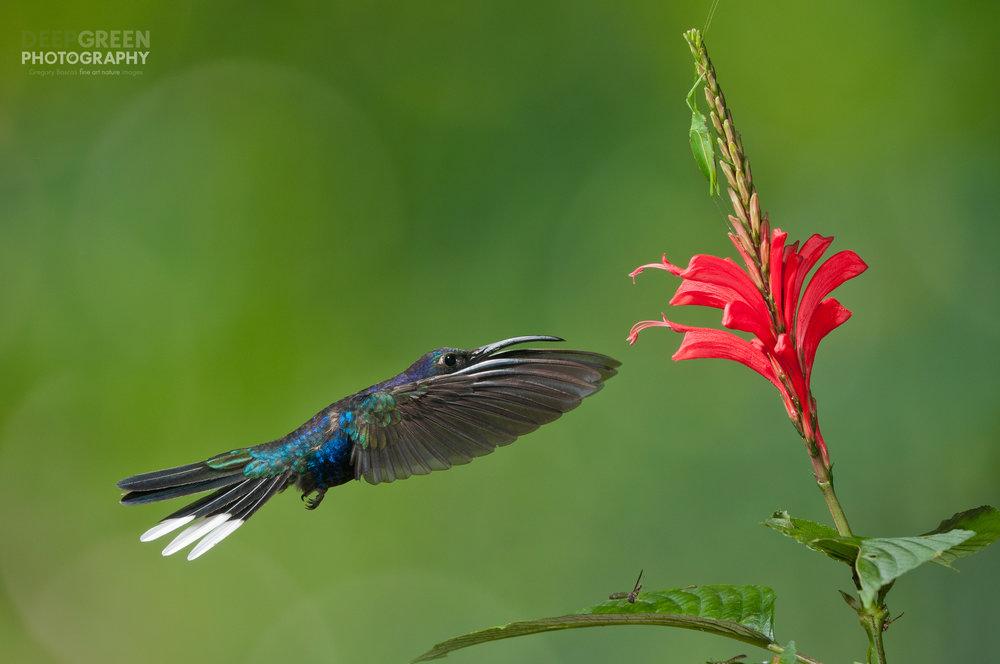 Violet sabrewing hummingbird visiting Razisea spicata flowers. The katydid and wasp were surprise onlookers.