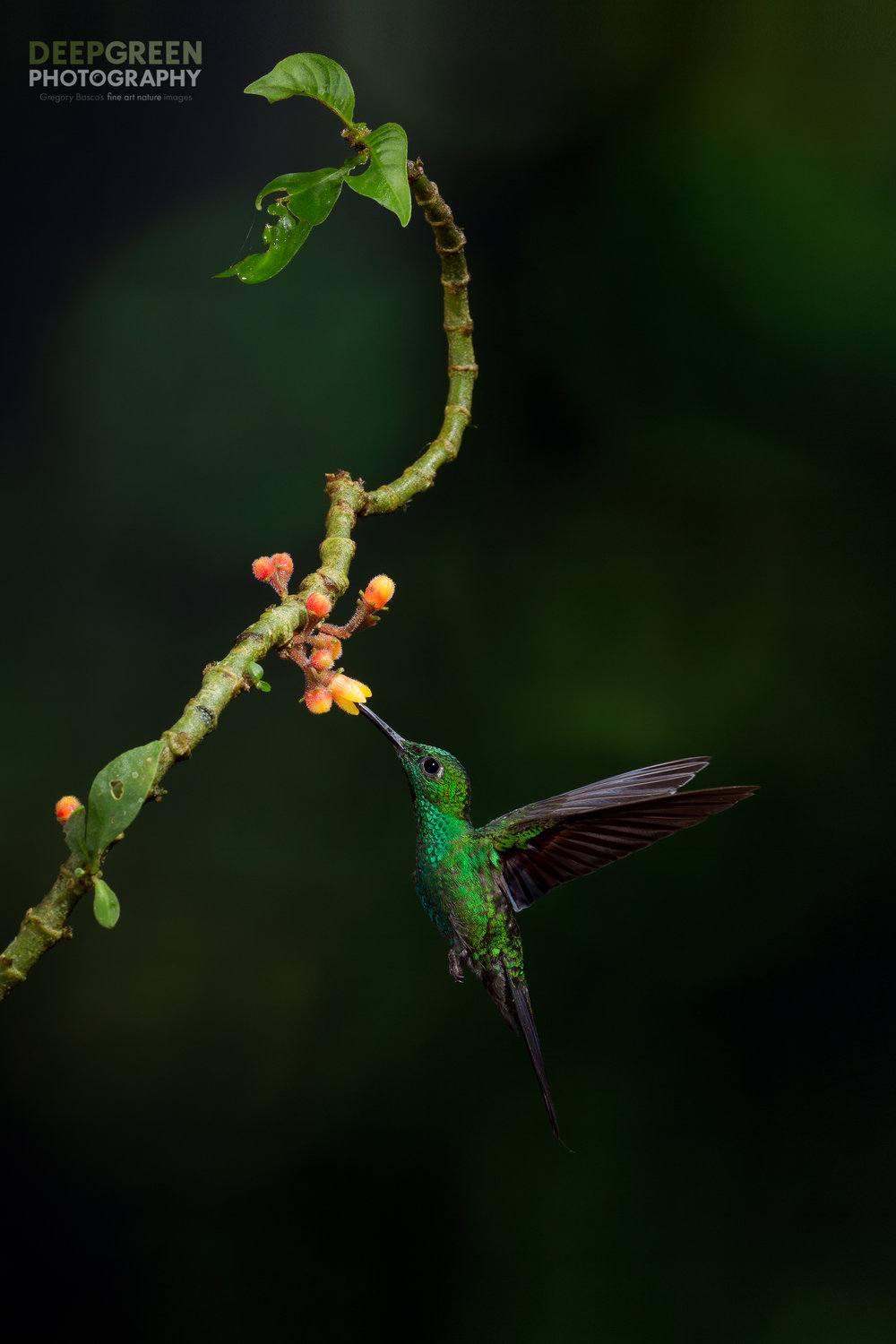 a green-crowned brilliant visits a flower in the coffee family in a cloud forest in the Central Volcanic mountain range