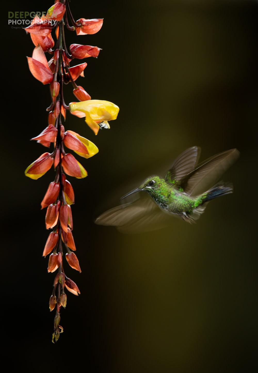 DGP-stock-hummingbirds-140.jpg