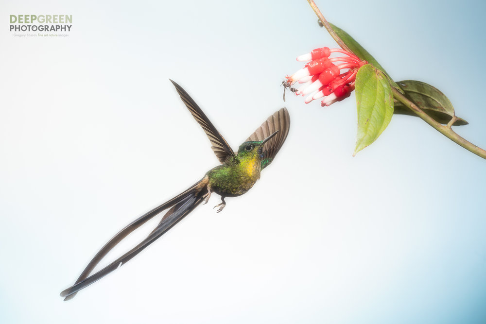 A violet-tailed sylph visits a tropical blueberry flower in a cloud forest in the western Andes mountains of Ecuador