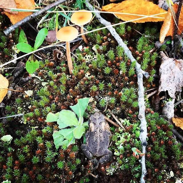 Tiny toad, moss and fungi... 🍁 🐸 spotted on the forrest floor while walking with the @theoutsideinstitute