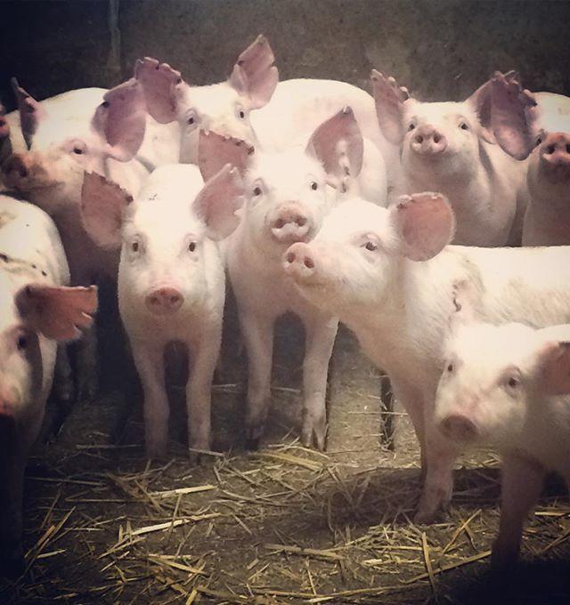 Idag har vi varit på Studiebesök hos @rocklundagardsgris 🐖🐽🐷 Pigga och glada grisar ser ni här. För oss är det viktigt att veta var vårt kött kommer ifrån och hur djuren har det💕 Dessutom är det alltid roligt att få ställa frågor, och lära sig mer om livet för grisarna och bönderna. Till exempel så är vi glatt överraskade att Rocklunda Gård själva producerar ungefär 90% av sitt grisfoder och aktivt arbetar för att minska transporter. Givande dag👌🏻💕🐷 #fläsksida #rocklundagård #studiebesök #ichaichamallofscandinavia #mallofscandinavia @mallofscandinavia #ichaicha #furiouslyfresh #healthykitchen #lovenatural #ichaichamood #ichaichakista #eatclean #cleaneating #restaurant #stockholm #moodstockholm #Kistagalleria #asianfusion #lowcarb #lchf #restaurangstockholm #fitspo #inspiration #kista @kistagalleria @moodstockholm #veg #goodchoices #inspiration #motivation #healthylifestyle #gårdsgris