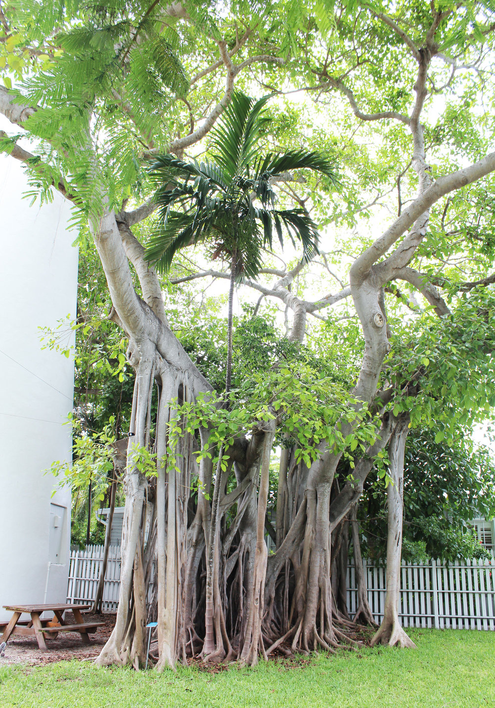 Tree at the Key West Lighthouse — Cotton Cashmere Cat Hair