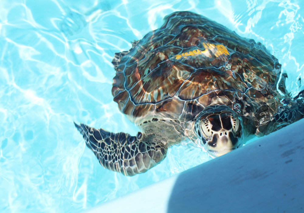 Bonnie, green sea turtle, at the Turtle Hospital, Marathon, Florida — Cotton Cashmere Cat Hair