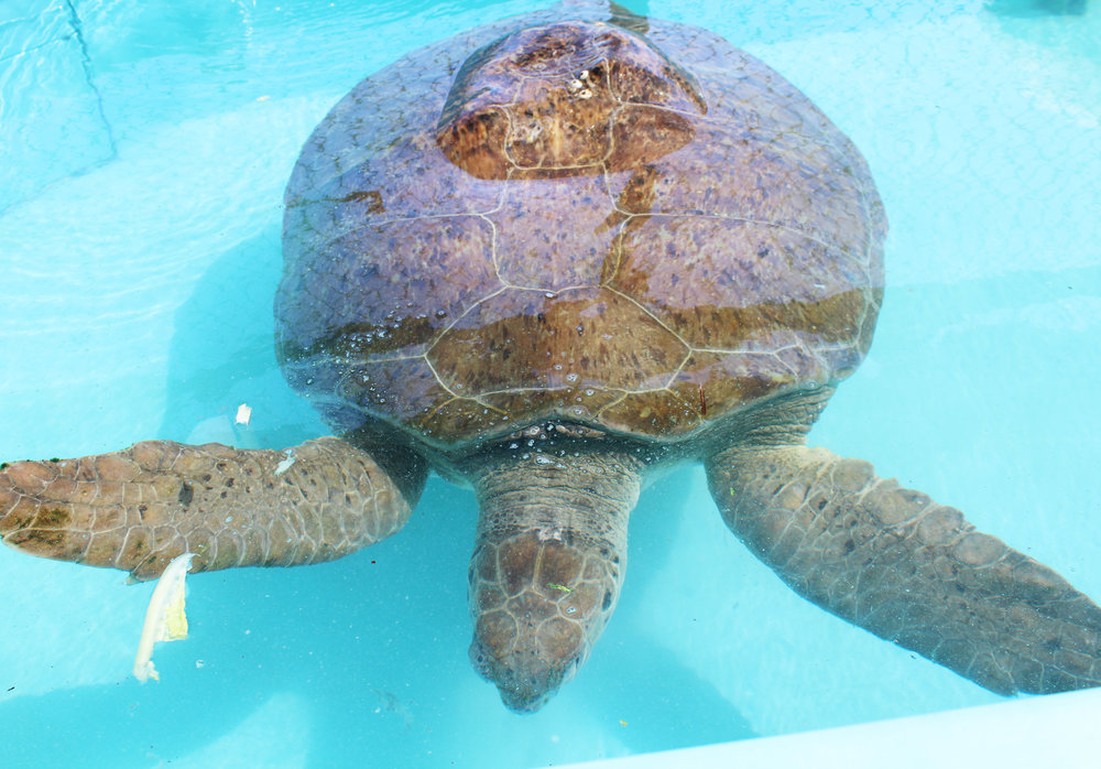 Hanson Buoy, green sea turtle, at the Turtle Hospital, Marathon, Florida — Cotton Cashmere Cat Hair