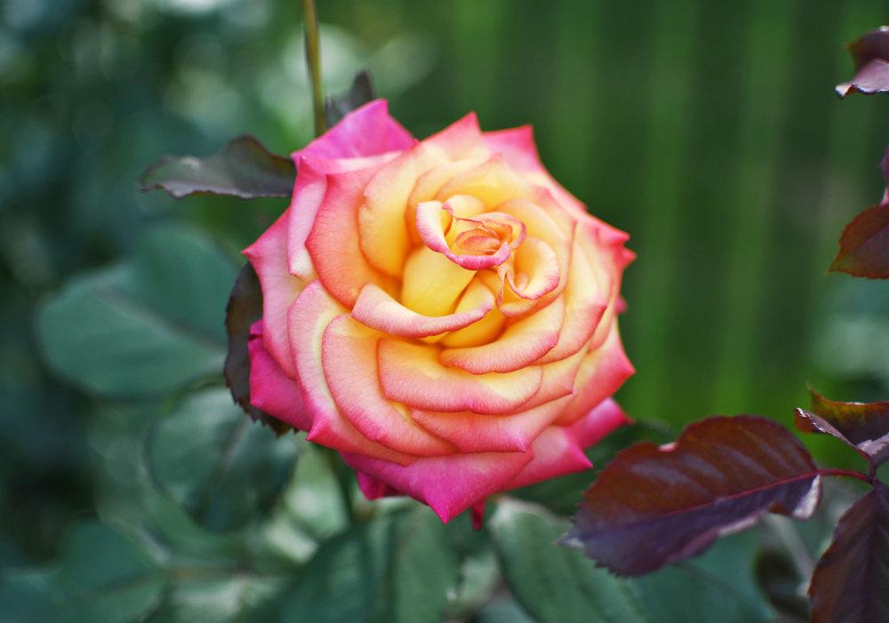 Rose garden at Julia Davis Park, Boise, Idaho — Cotton Cashmere Cat Hair
